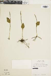 Ophioglossum reticulatum image