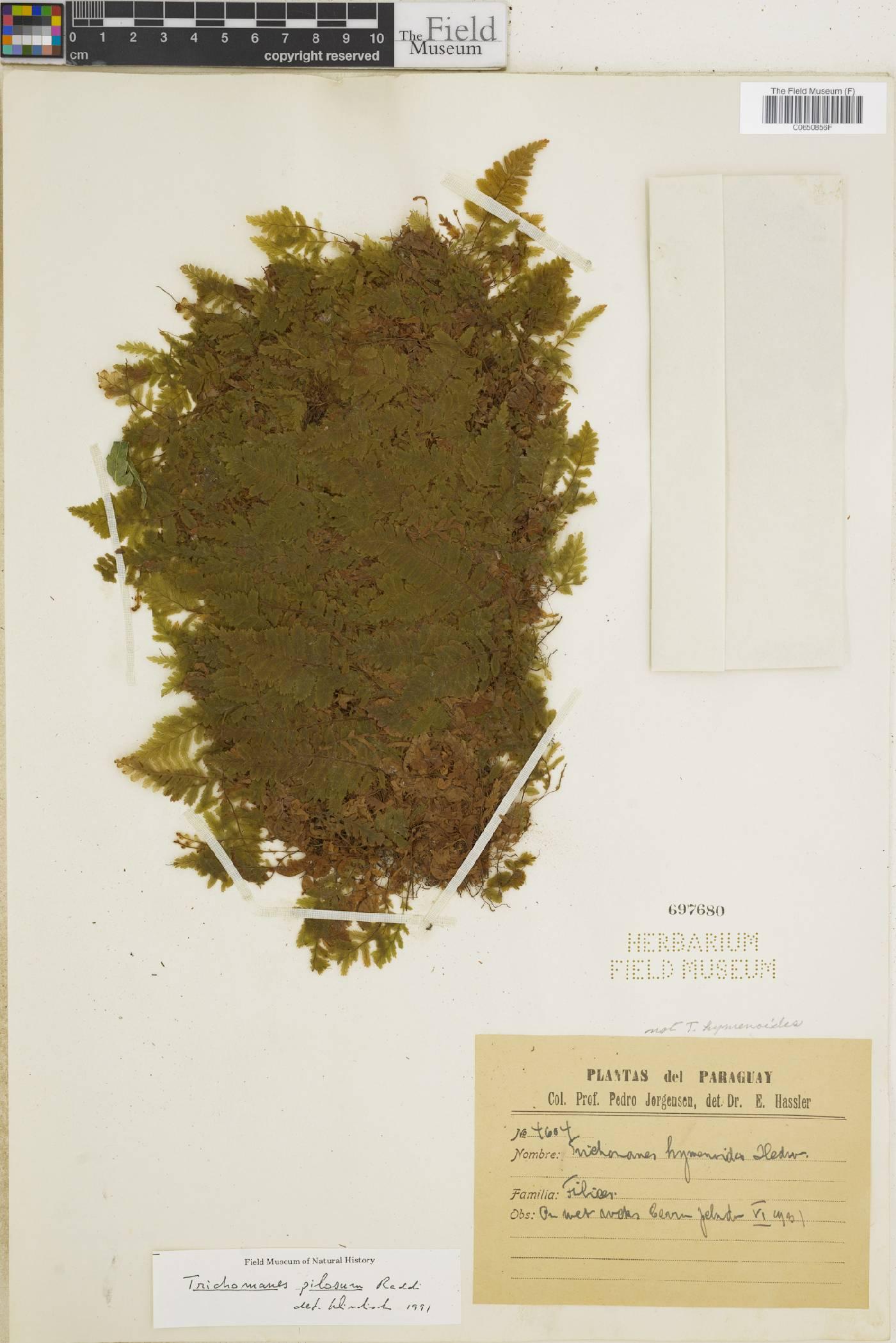 Trichomanes pilosum image