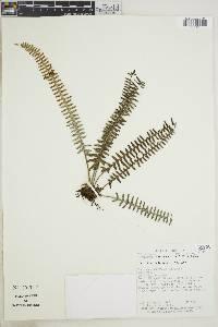 Polypodium furfuraceum image