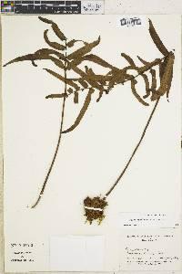 Image of Polypodium echinolepis