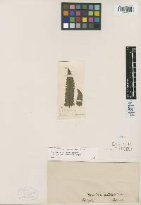 Hemitelia petiolata image