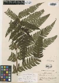 Hemitelia rudis image