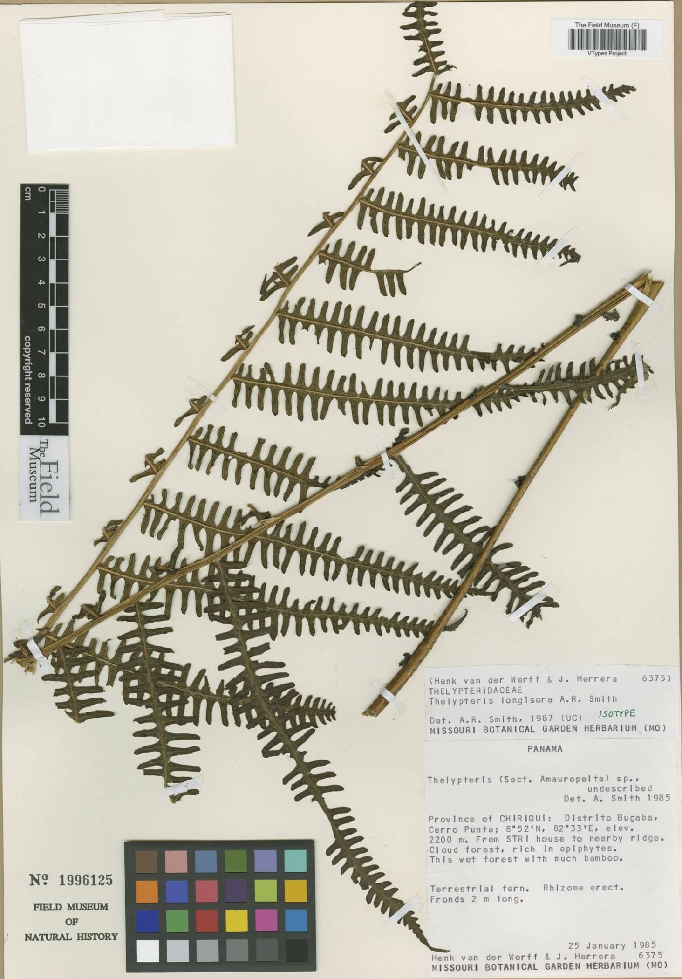 Thelypteris longisora image