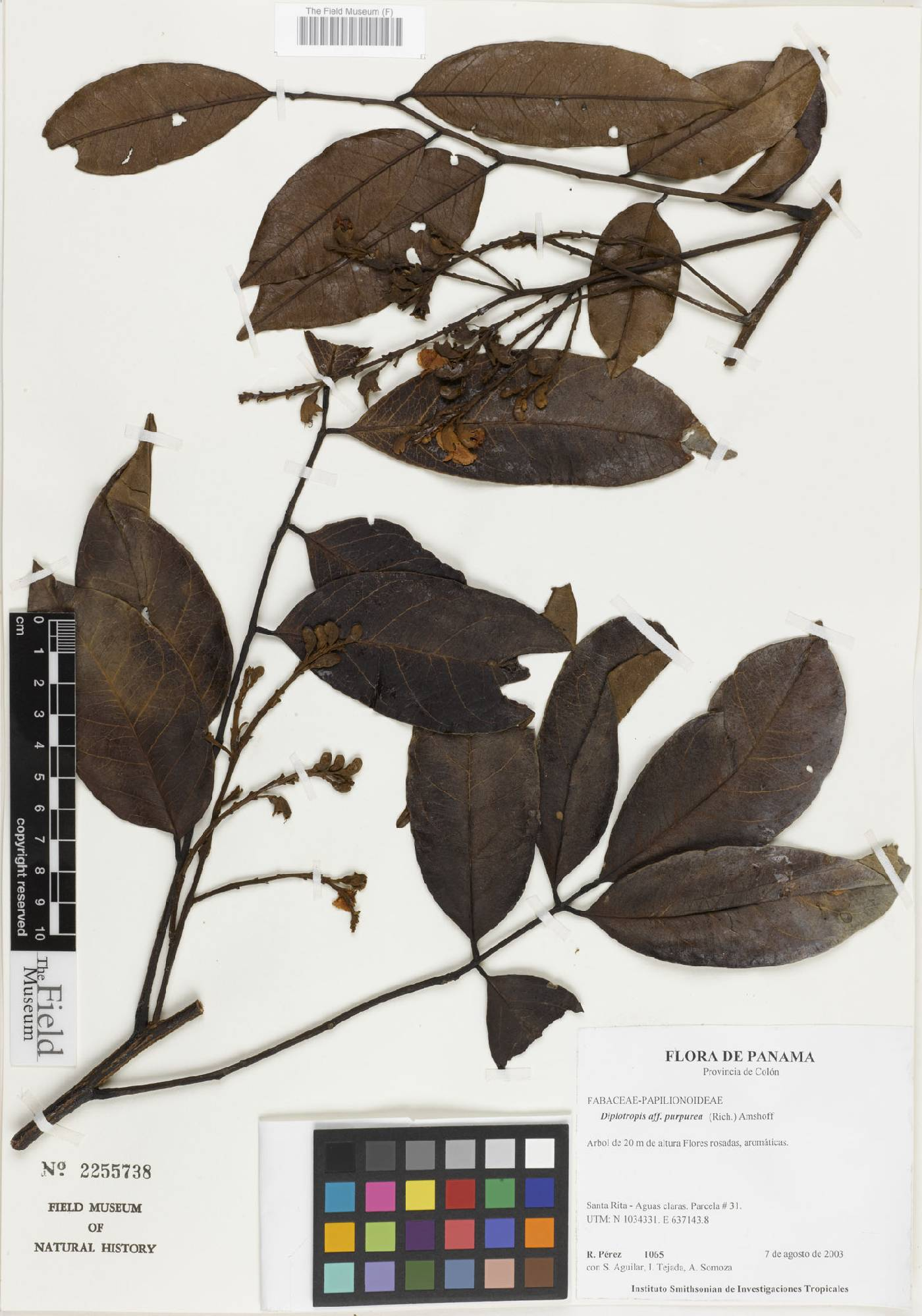 Diplotropis purpurea image