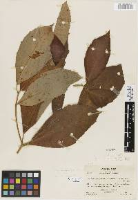 Croton brevipes image