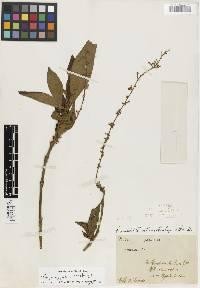 Gonzalagunia stenostachya image