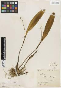 Stelis leucopogon image