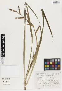 Guzmania dissitiflora image