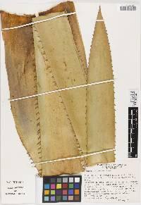 Aechmea dactylina image