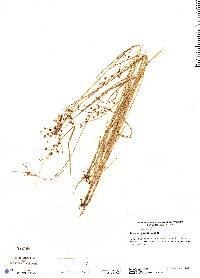 Scleria purdiei image