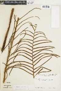 Blechnum chiriquanum image