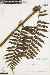 Cyathea caracasana image