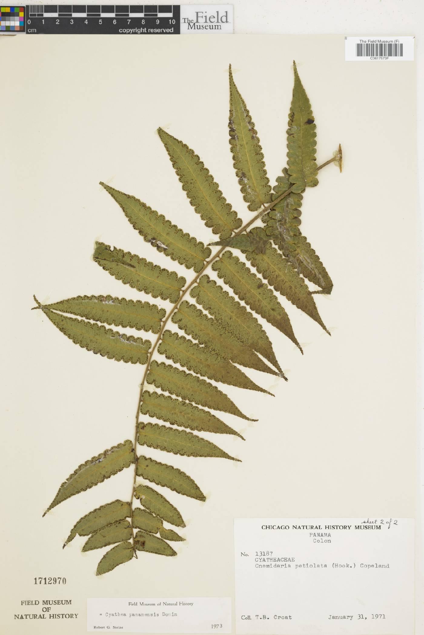 Cyathea panamensis image