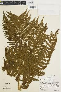 Cyathea suprastrigosa image