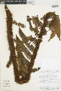 Cyathea ursina image