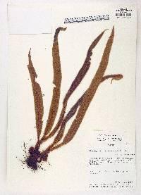 Elaphoglossum micropogon image
