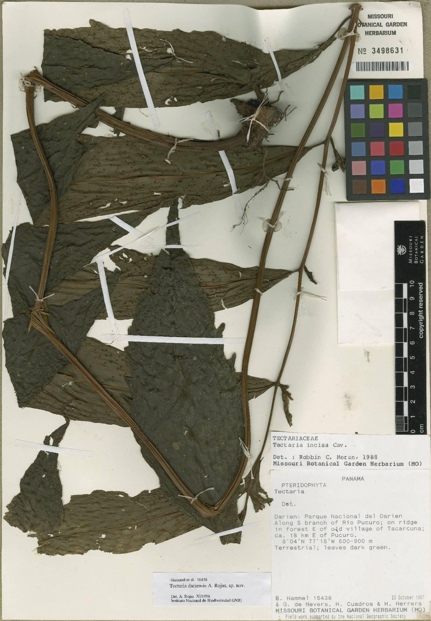 Tectaria darienensis image