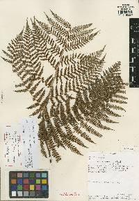 Hypolepis ditrichomatis image