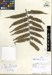 Cyathea nodulifera image