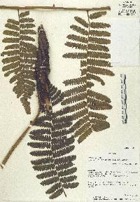 Image of Cyathea pilosissima