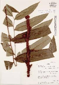 Image of Lomariopsis prieuriana