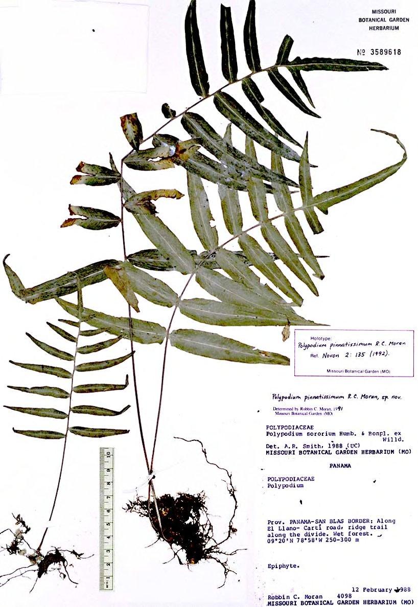 Polypodium pinnatissimum image