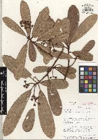 Image of Pleurothyrium racemosum