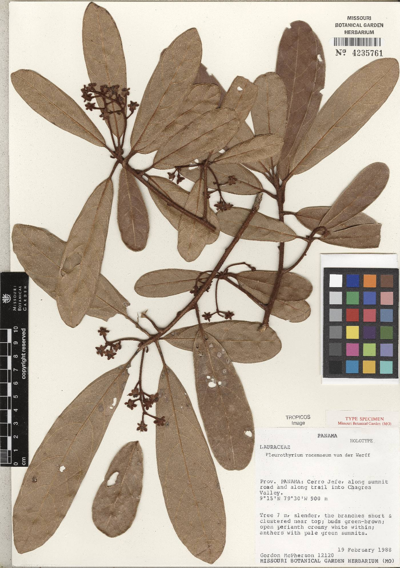 Pleurothyrium racemosum image