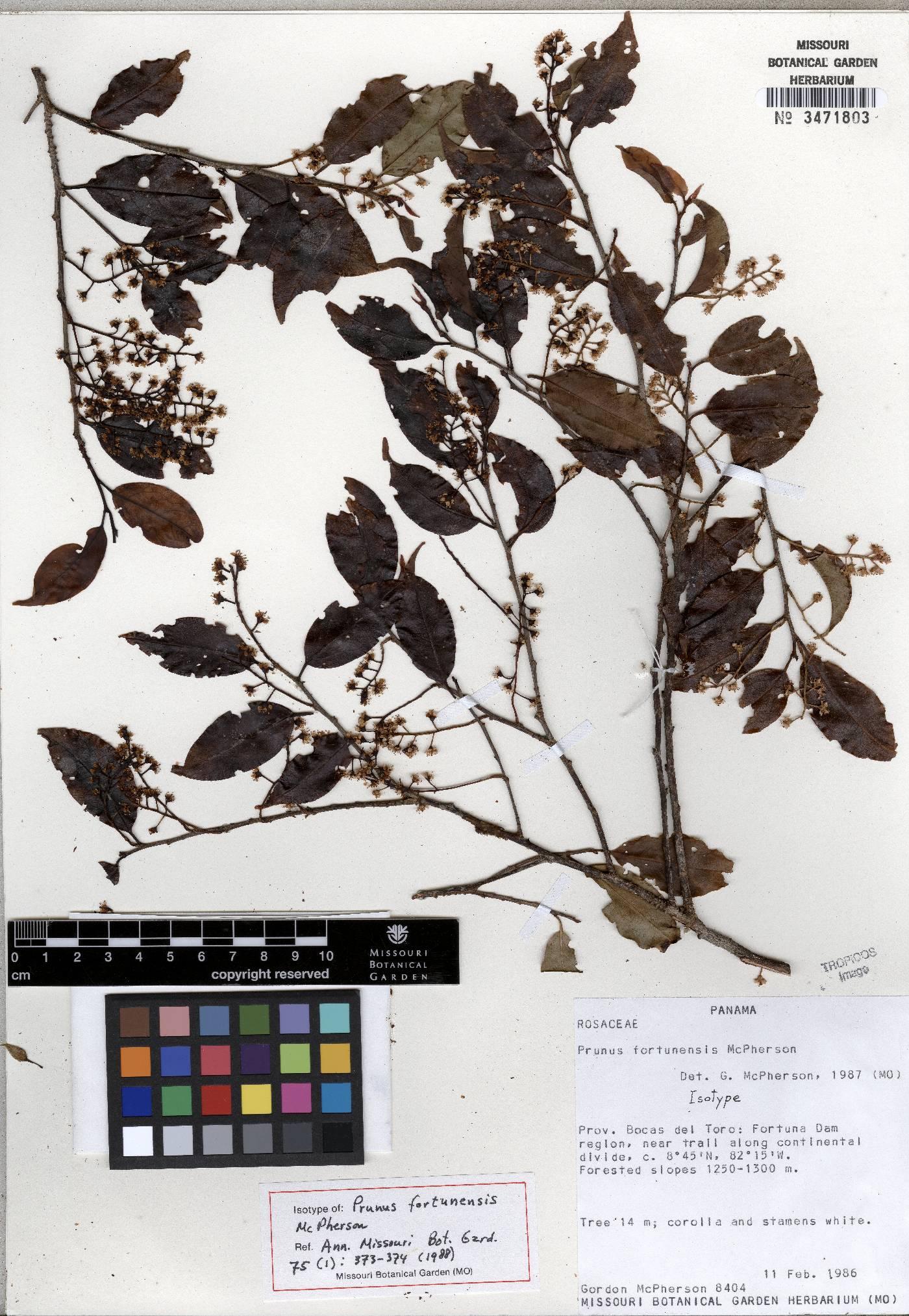 Prunus fortunensis image
