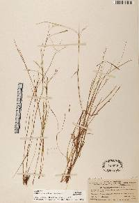 Panicum caricoides image