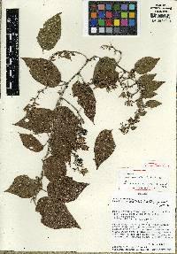 Image of Passiflora malletii