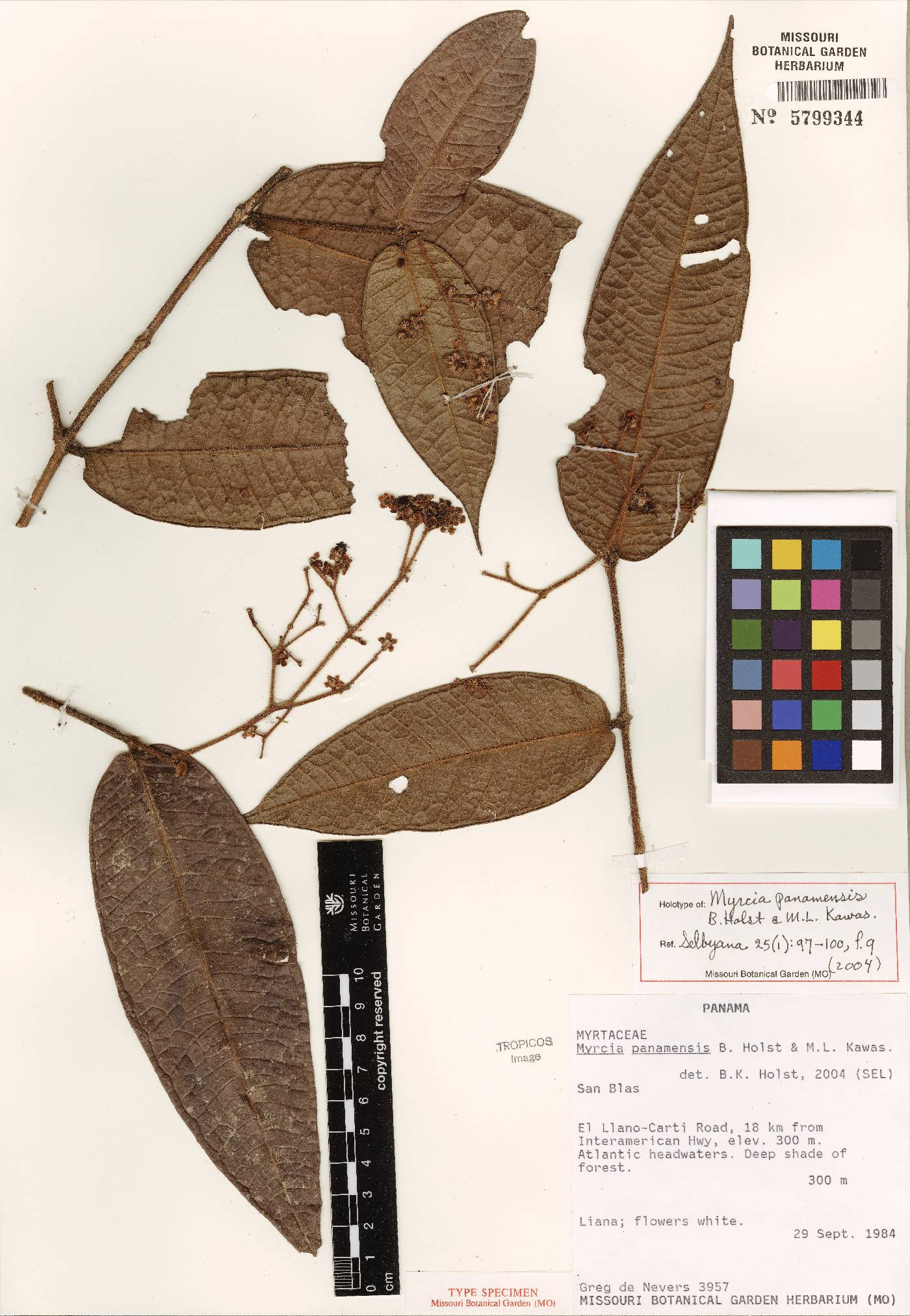 Myrcia panamensis image
