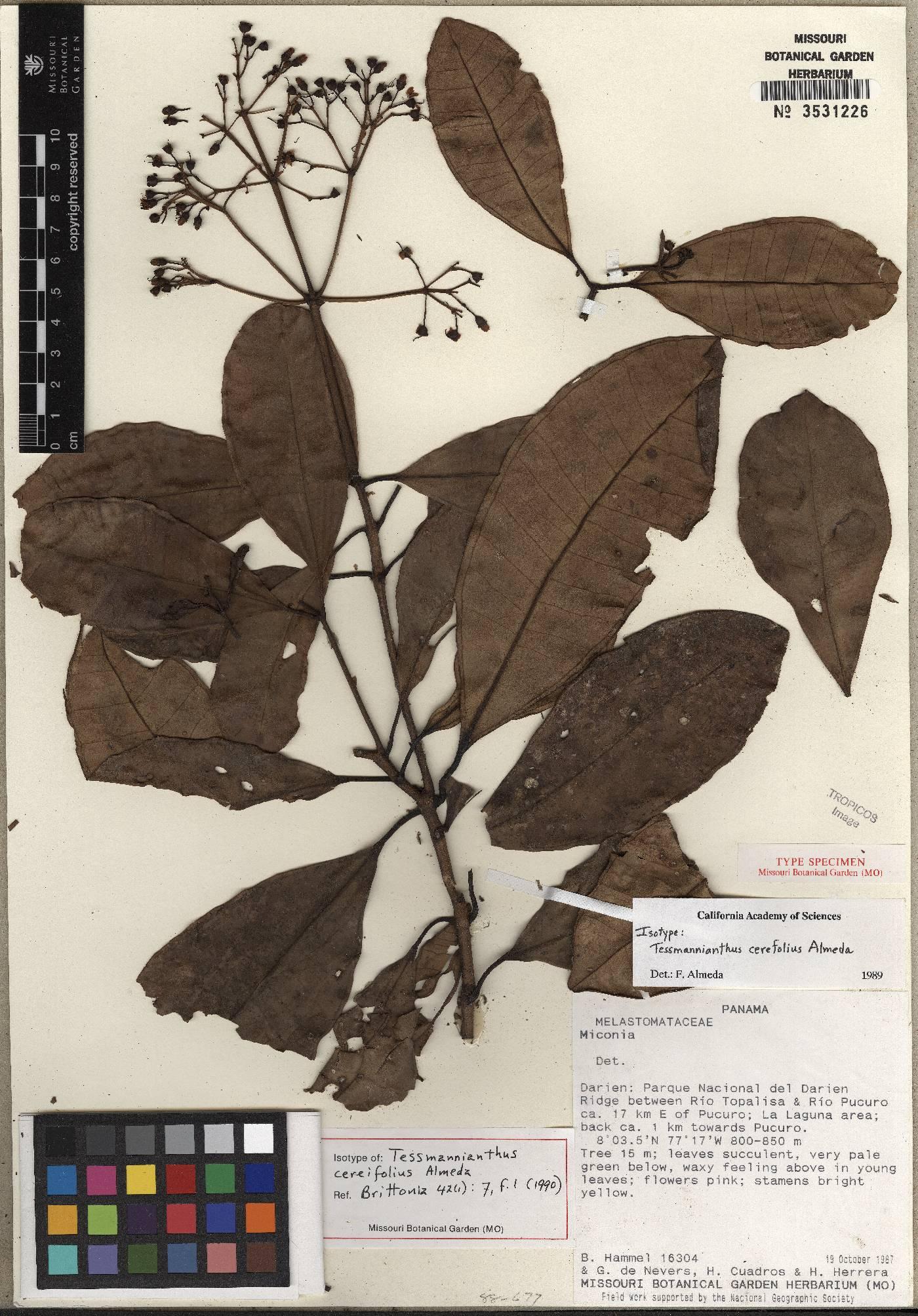 Tessmannianthus cereifolius image