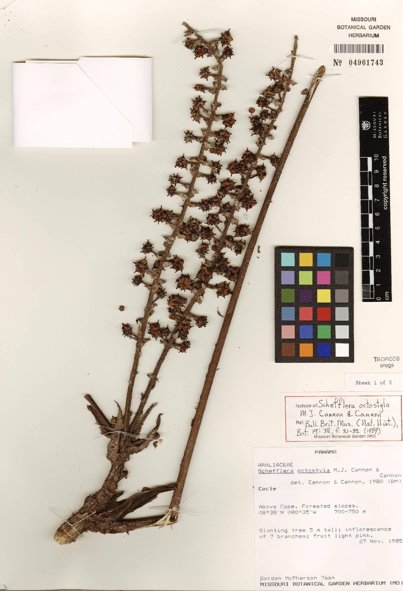 Schefflera octostyla image