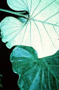 Philodendron lazorii image