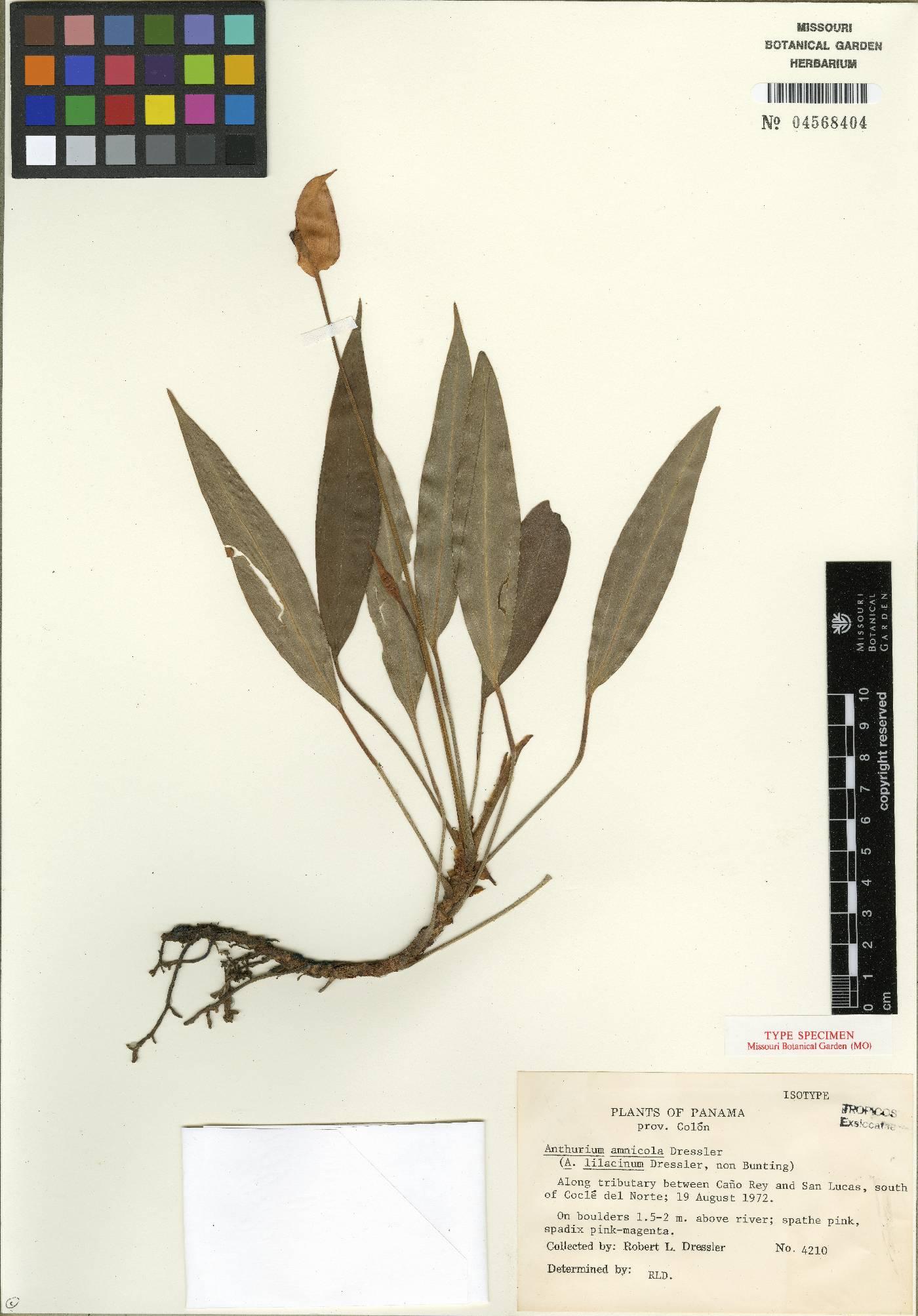 Anthurium amnicola image