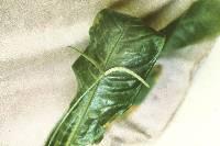 Anthurium fatoense image