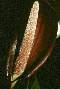 Anthurium luteynii image
