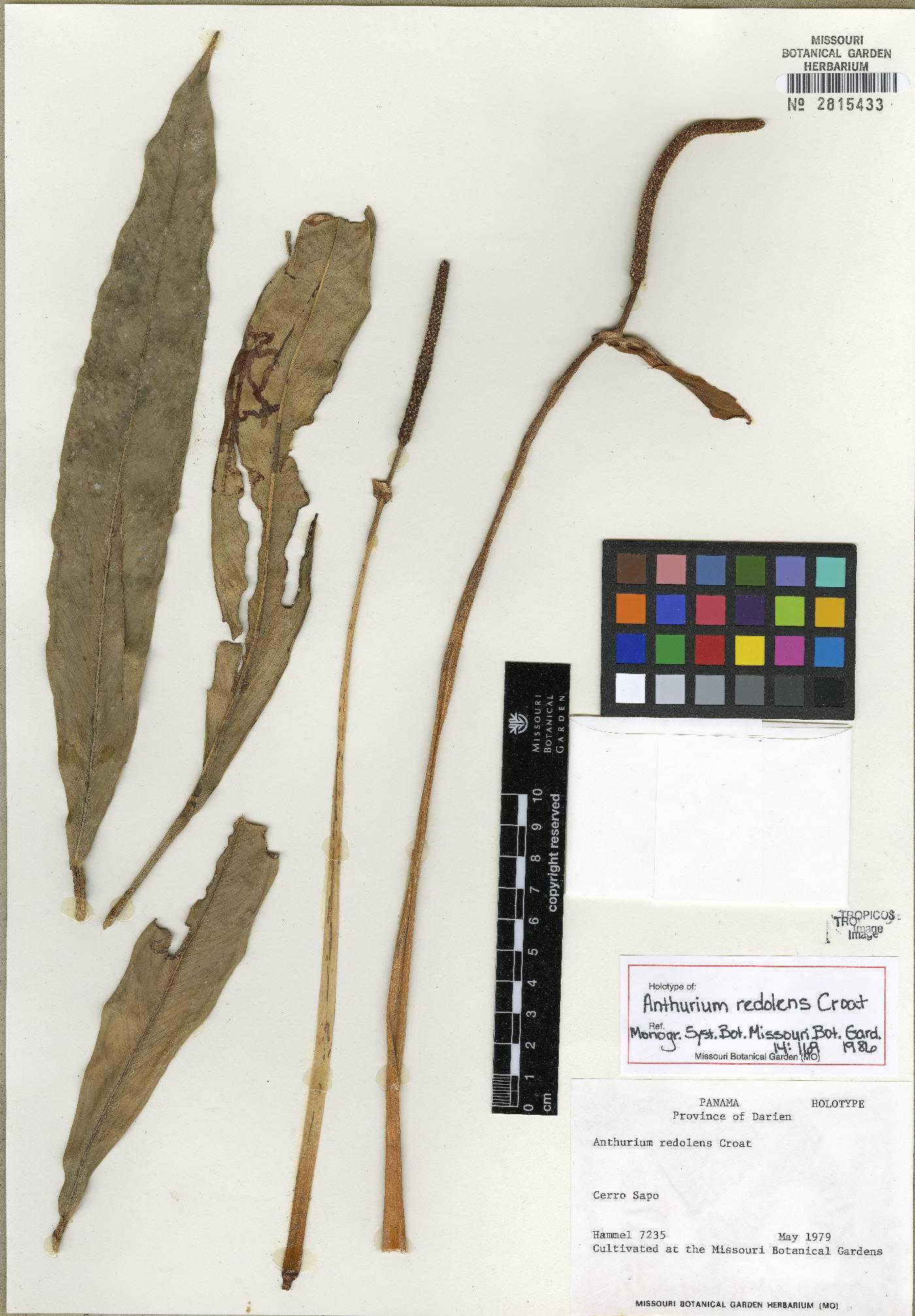 Anthurium redolens image