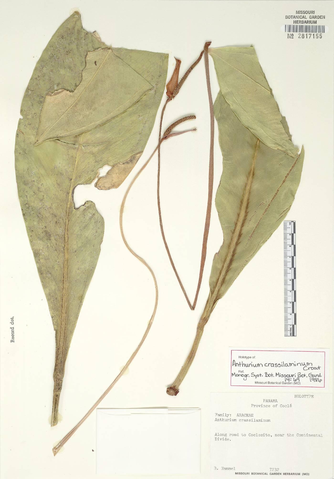 Anthurium crassilaminum image