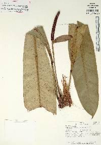 Anthurium curvilaminum image