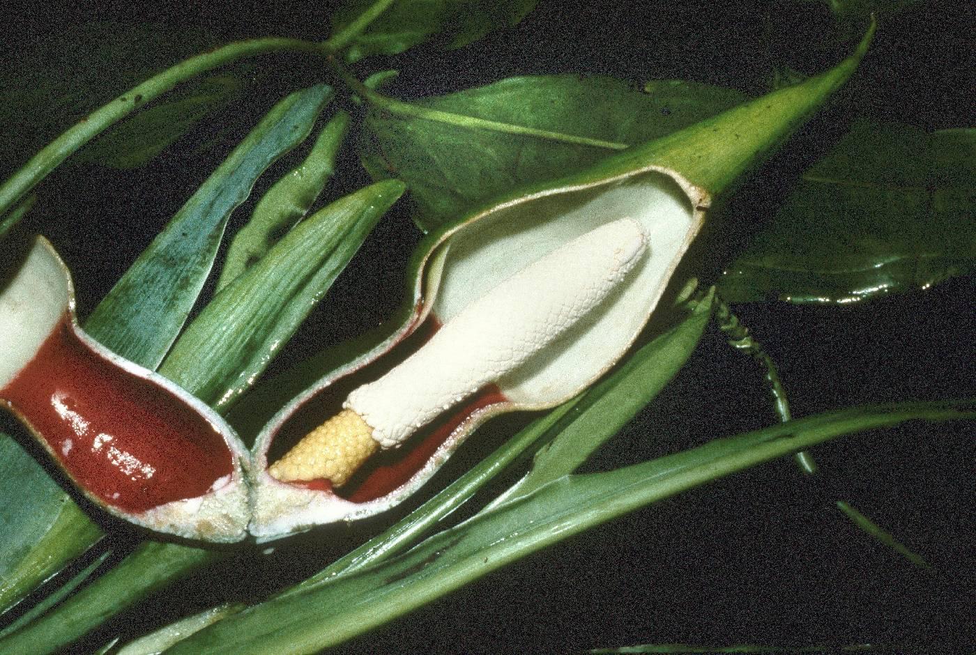 Syngonium hoffmannii image