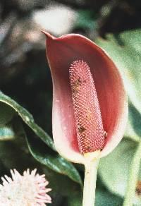 Anthurium kamemotoanum image