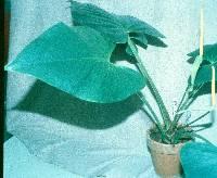 Anthurium cerrocampanense image