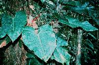 Philodendron antonioanum image