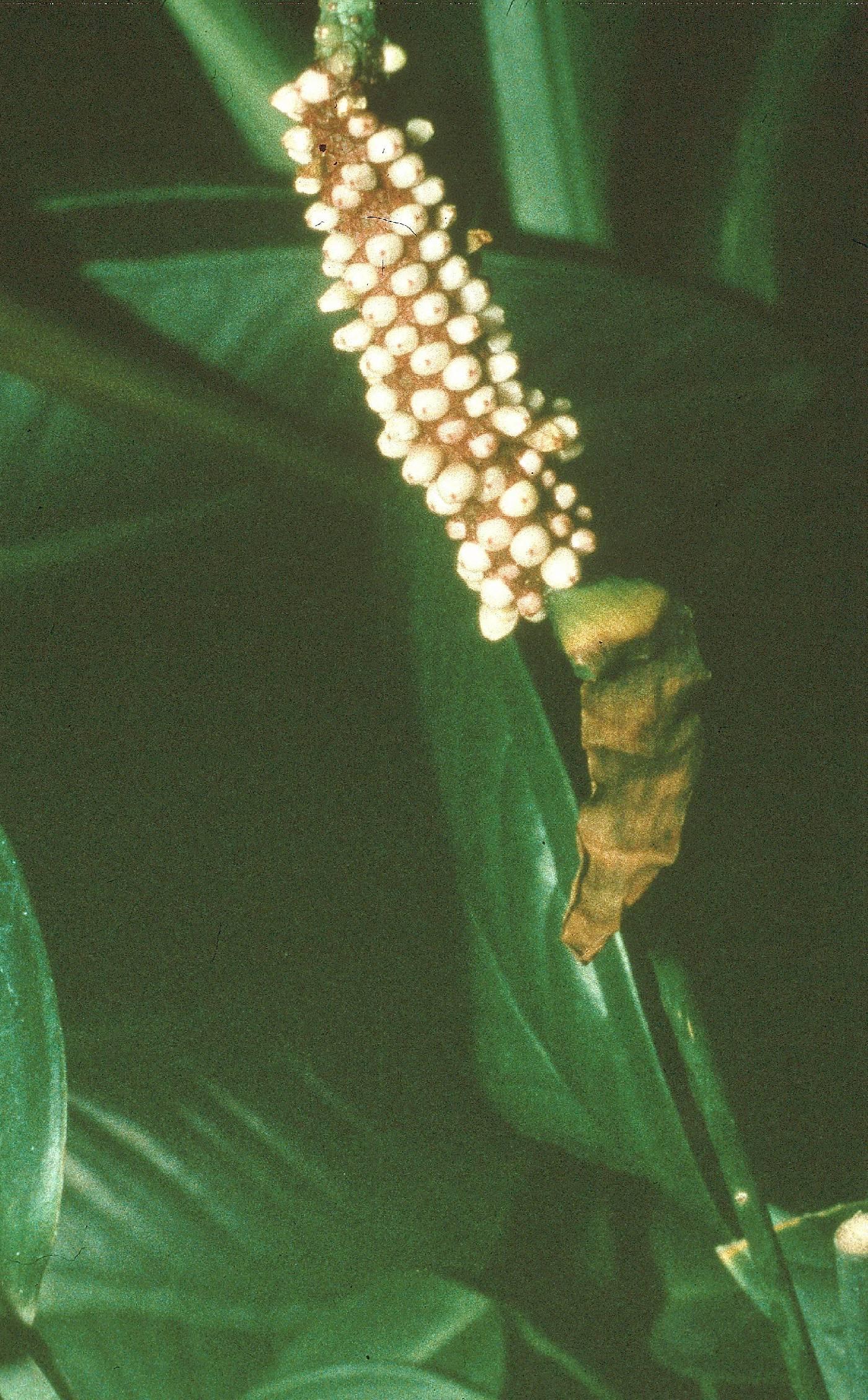 Anthurium gracililaminum image