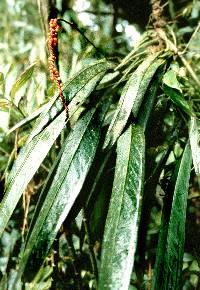 Anthurium longistipitatum image