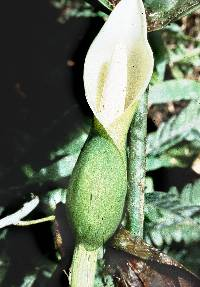 Philodendron scalarinerve image