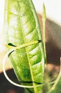 Anthurium terryae image