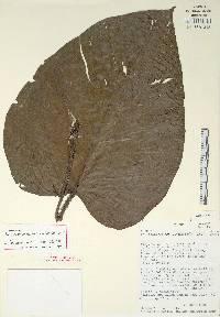 Philodendron squamipetiolatum image